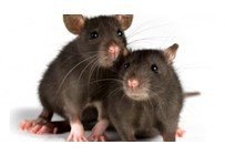 Protection against mice and rats